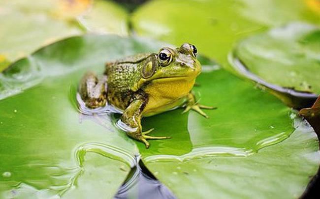 Mơ thấy ếch